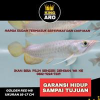 ikan Hidup Arwana Golden red Higback HB / Arowana Red Golden 16 -17cm