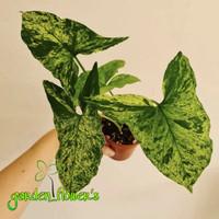 tanaman hias - syngonium mottled arrow head/mujito