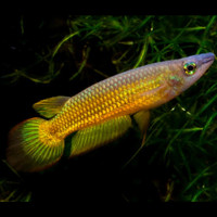 Ikan Killi Golden / Striped Panchax (IKAN HIAS)