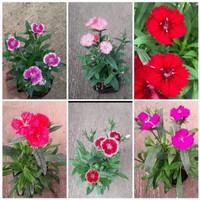tanaman hias bunga teluki / anyelir /carnation (random)