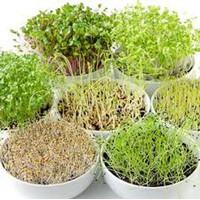 Benih Microgreen Murah Serba Rp. 10.000 Isi Banyak - Microgreens Hemat
