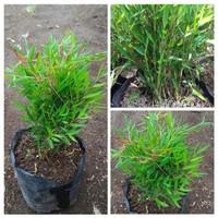 Bibit tanaman bambu cina/Bambu mini