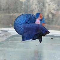 ikan cupang Royal Blue Solid Hmpk size M awal