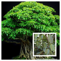 Tanaman Bahan Bonsai Ficus Citrifolia Bonsai Pohon ara Outdoor Indoor