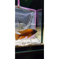 African Cichlid Aulonocara Peacock Red Rubin IMPORT