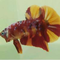 Ikan Cupang Nemo Galaxy Nemoxy Grade Hiasan Aquarium