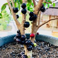 Bibit Buah Anggur Brazil / Brasil / sabara /anggur pohon