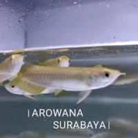 Ikan Arwana Banjar Red 10 cm