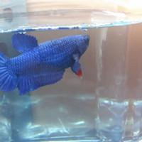 ikan cupang giant royal blue betina
