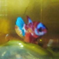Ikan Cupang Plakat Multicolour A1 Hiasan Aquarium