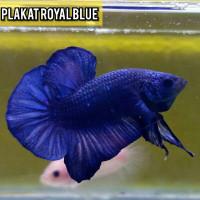 ikan cupang plakat Royal blue murah