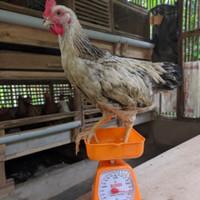 ayam kampung hidup