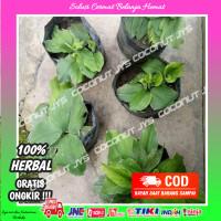benih kencur segar cikur organik obat herbal bibit benih tanamankencur