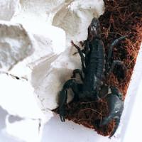 Kalajengking Heterometrus cyaneus , Asian Forest Scorpion AFS