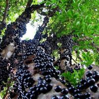 bibit anggur brazil preco sambung susu