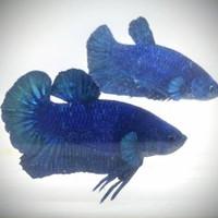 Cupang Blue Solid Male untuk cetak Blue Rim