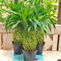 Tanaman hias bambu hoki kepang / bambu Cina Tinggi 45 cm + pot