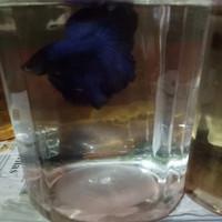 cupang blue royal
