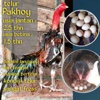 ayam bangkok telur fertil pakhoy siap tetas