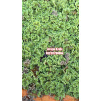 Azolla-bibit Azolla-tanaman air azola-tanaman paku air-pakan ternak