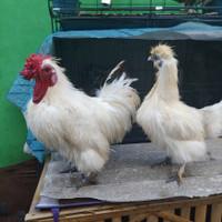 Ayam Hias Bulu Kapas Indukan