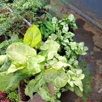 tanaman hias singonium batik, singonium merah, foto asli, tanaman daun - Kuning