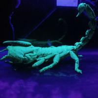 kalajengking Asian Forest Scorpion(AFS)