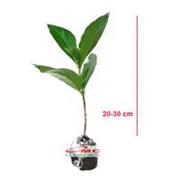 Bibit Tanaman Pohon Mengkudu Noni Pace Tanaman Obat Herbal MKD-2030