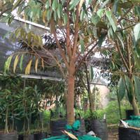 Pohon Durian Musang King Asli batang besar..2 meter