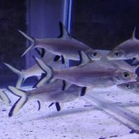 ikan hias bala shark