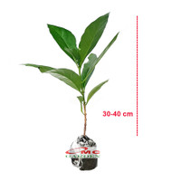 Bibit Tanaman Pohon Mengkudu Noni Pace Tanaman Obat Herbal MKD-3040