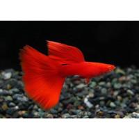 Ikan Hias Guppy Albino Full Red (AFR) Aquarium Aquascape