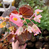 tanaman hias bunga bihunia, begonia bunga, tanaman bunga cantik