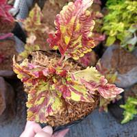 tanaman hias miana, miyana, tanaman daun hias, kekinian, murah bagus