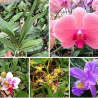 angrek bulan hybrid dewasa gratis 1 dendro bunga kriting