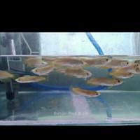 ikan Arwana Banjar Red ( 9 - 10 ) cm
