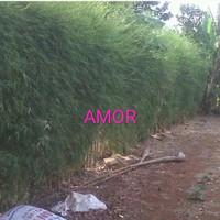 bibit bambu cina china, telisik hijau 3batang
