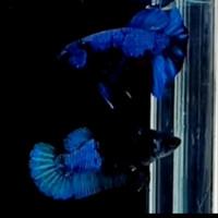 ikan cupang avatar 1 pair/sepasang