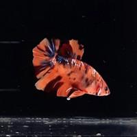 Ikan cupang nemo galaxy multi colour