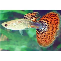 Ikan hias aquarium guppy cobra aquascape