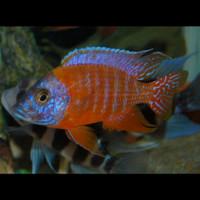 Ikan Cichlid Aulonocara - Red Rubin (IKAN HIAS AIR TAWAR)