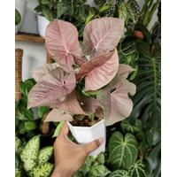 tanaman hias syngonium pink-tanaman hidup-bunga hidup murah
