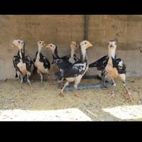 Tiga Ekor Anakan Ayam Pakhoy X Bangkok Klasik(Tidak Menerima COD)