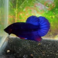 cupang royal blue avatar