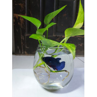 Aquarium Ikan Cupang Mini Akuarium Kecil Kaca Hias Bulat - Aquarium