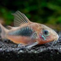 coridoras aeneus, ikan pembersih dasar aquarium