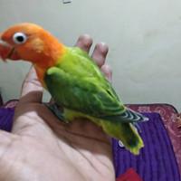 burung baby anakan Lovebird klep biola bahan jinak makan bubur loloh