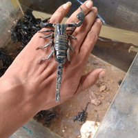 afs (asian forest scorpion)