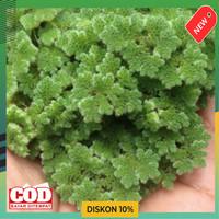 jual bibit azolla microphylla 100gram - alternatif pakan unggas