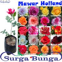 bibit mawar holland Tanaman Bunga Hidup Bergaransi (Bunga Besar)